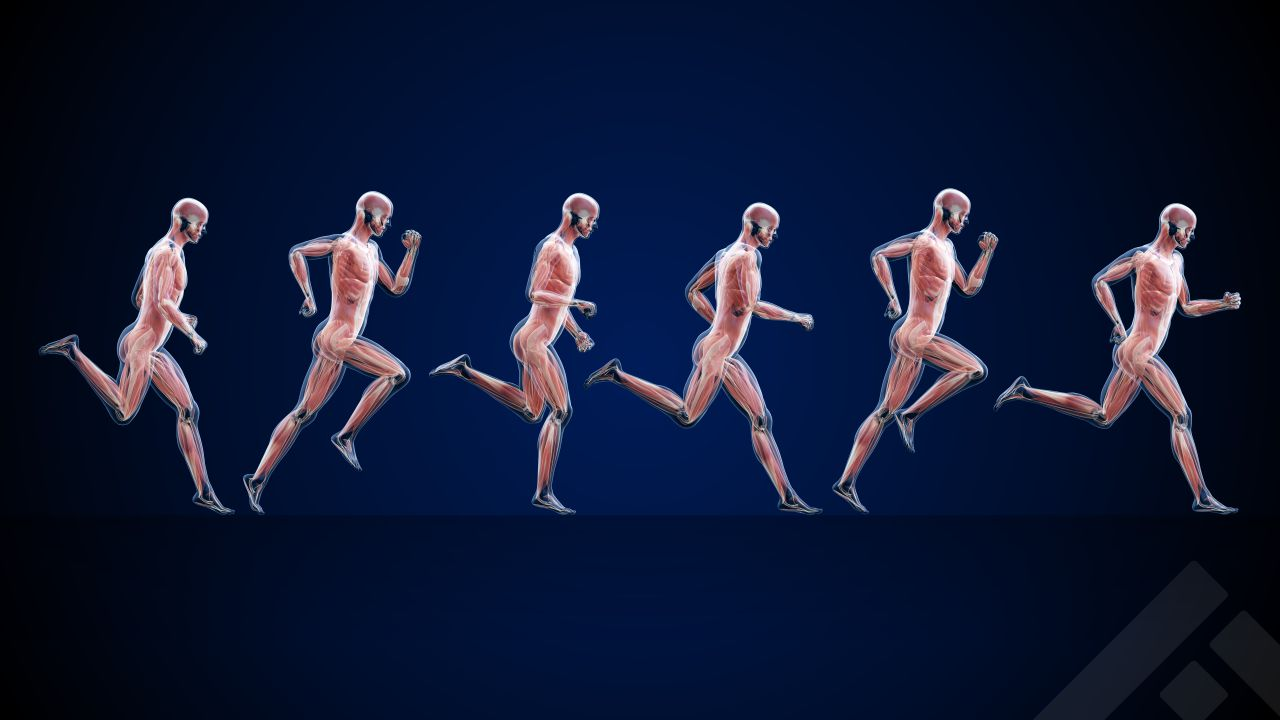 Muscles groups in running