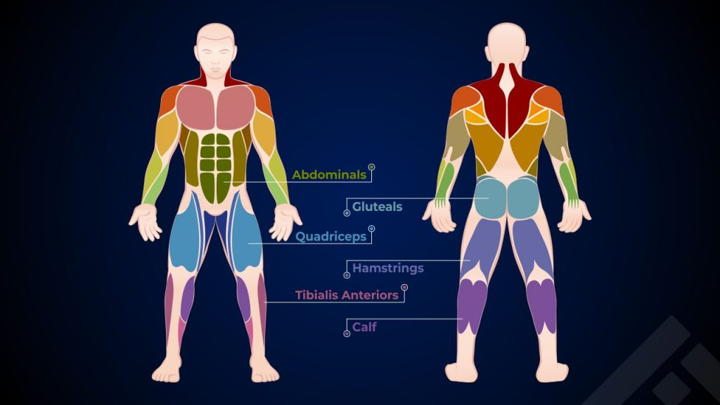 Muscle groups involved in running