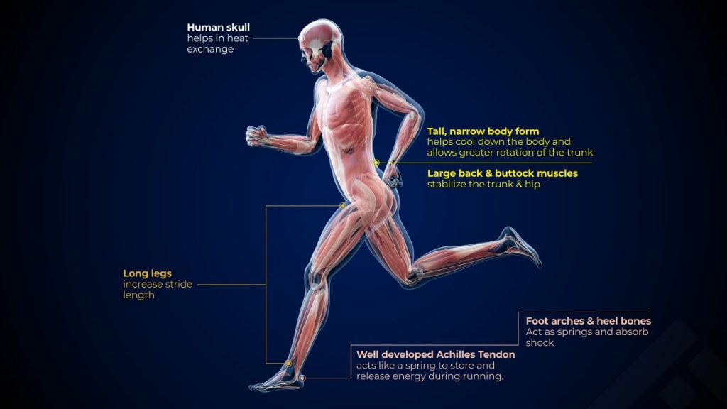 Physical features that help us run