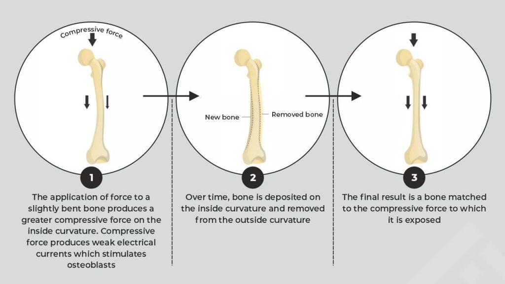 How aerobic exercise stimulates bone growth