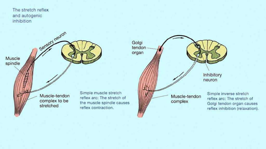 Physiology of the cramp