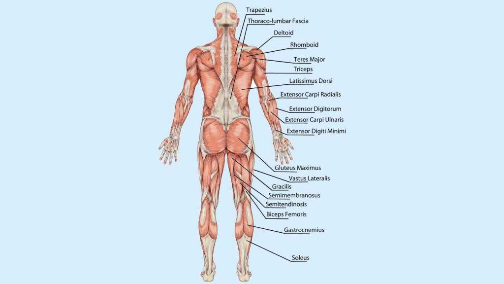 Posterior Chain Muscles
